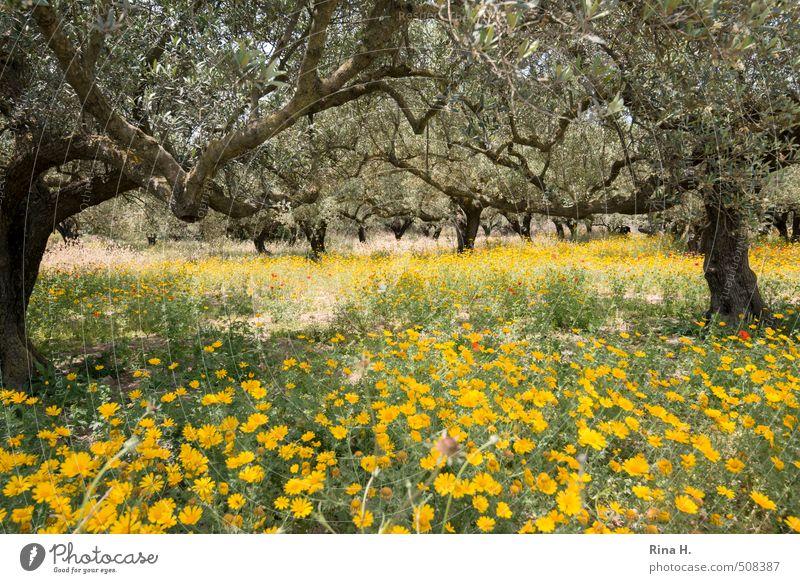 Getupft Umwelt Natur Landschaft Pflanze Frühling Schönes Wetter Blume Mohn Margariten Blühend trocken gelb Olivenhain Olivenbaum mediterran Farbfoto
