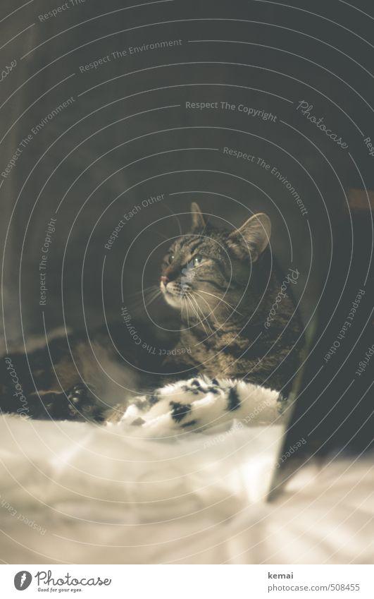 Die Königin Katze ruhig Tier grau liegen sitzen warten Coolness Stoff Fell Ohr Gelassenheit Tiergesicht Spiegel Haustier Pfote