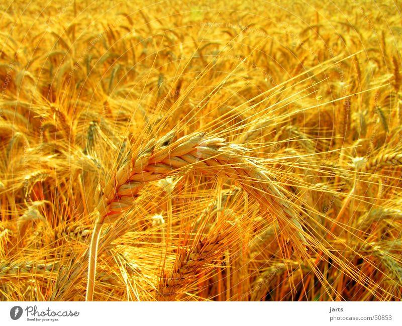 kornfeld Sonne Sommer gelb Feld gold Kornfeld Weizen Vegetarische Ernährung