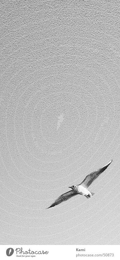 Möwe im Anflug Rauschen schwarz weiß Vogel fliegen Möwenvögel Himmel grau Schwarzweißfoto sky grey b/w black white Bewegung motion flying