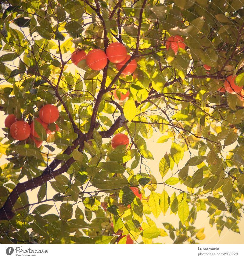 orange flash schön grün Pflanze Baum Blatt oben natürlich Gesundheit Frucht leuchten Wachstum frisch Energie genießen Ernährung