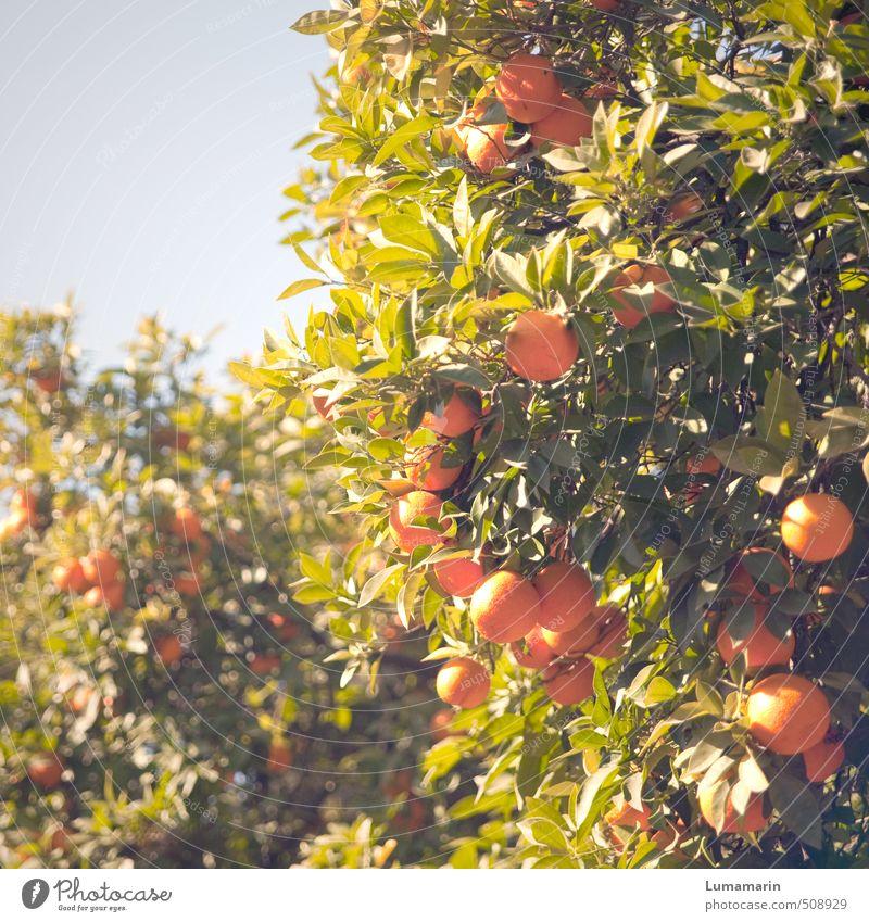 Pflanze | solar Lebensmittel Frucht Orange Wolkenloser Himmel Schönes Wetter Baum exotisch Orangenbaum hängen Wachstum frisch Gesundheit hoch schön lecker