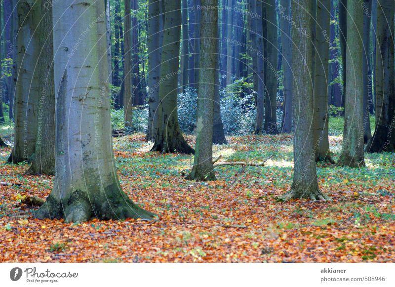 Gespensterwald I Umwelt Natur Landschaft Pflanze Herbst Baum Wald natürlich Buchenwald Buchenblatt Blatt Laubbaum Laubwald Farbfoto mehrfarbig Außenaufnahme