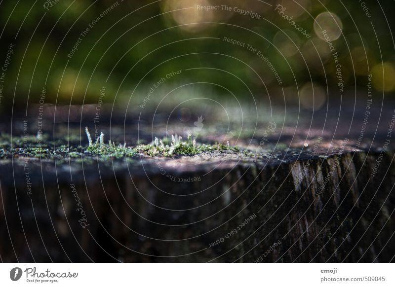 Moos Umwelt Natur Landschaft Pflanze Grünpflanze natürlich grün Holz Farbfoto Außenaufnahme Nahaufnahme Menschenleer Tag Schwache Tiefenschärfe