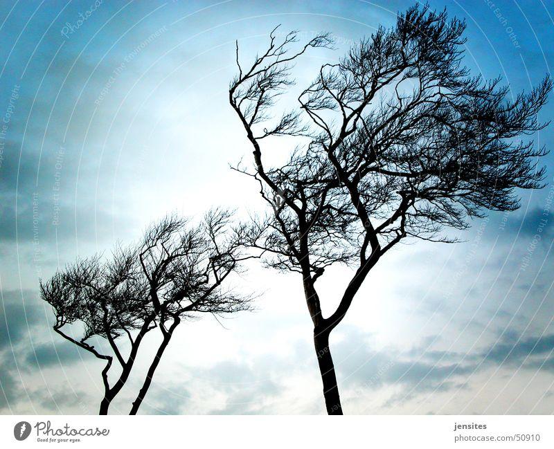 Ostseepalmen Natur Himmel Baum blau Winter kalt grau Deutschland Wind Ast Dynamik ungemütlich Windflüchter