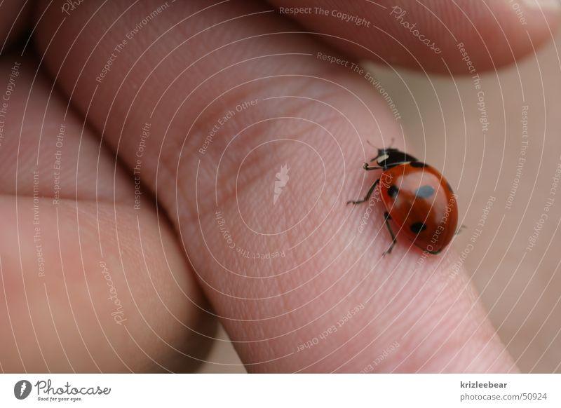 fingerläufer Natur Tier laufen Finger Insekt Marienkäfer Käfer