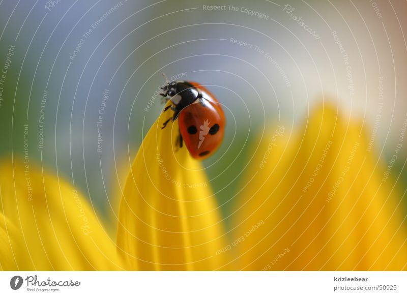 pause Marienkäfer Blüte Blütenblatt Insekt Tier Natur Blume gelb Sonnenblume Käfer beatle sitzen blossom Pflanze Glück red ladybug Makroaufnahme planen