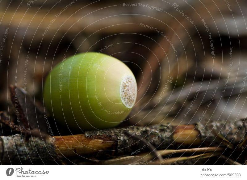 oak nut Natur Pflanze Herbst Eicheln Nuss Frucht Wald braun grün herbstlich Herbstbeginn Herbstfärbung Farbfoto Außenaufnahme Tag Kontrast