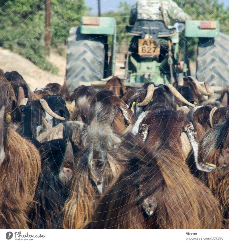 aus der Ziegenperspektive Mensch Mann grün Tier Erwachsene lustig braun Zusammensein maskulin laufen Tiergruppe fahren Landwirtschaft Vertrauen Haustier Fahrzeug