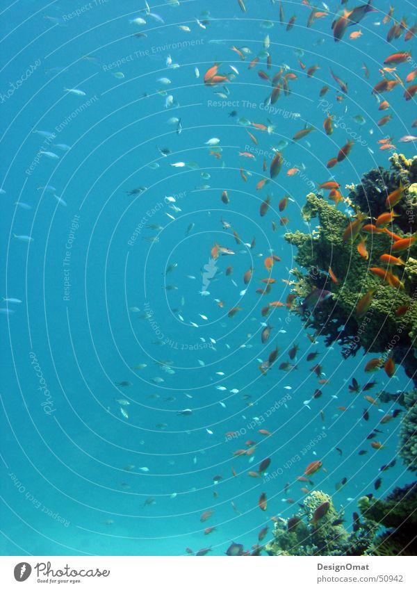 Unterwasserspiel Natur Wasser Meer Ferien & Urlaub & Reisen Tier Fisch Korallen Schwarm prächtig Rotes Meer