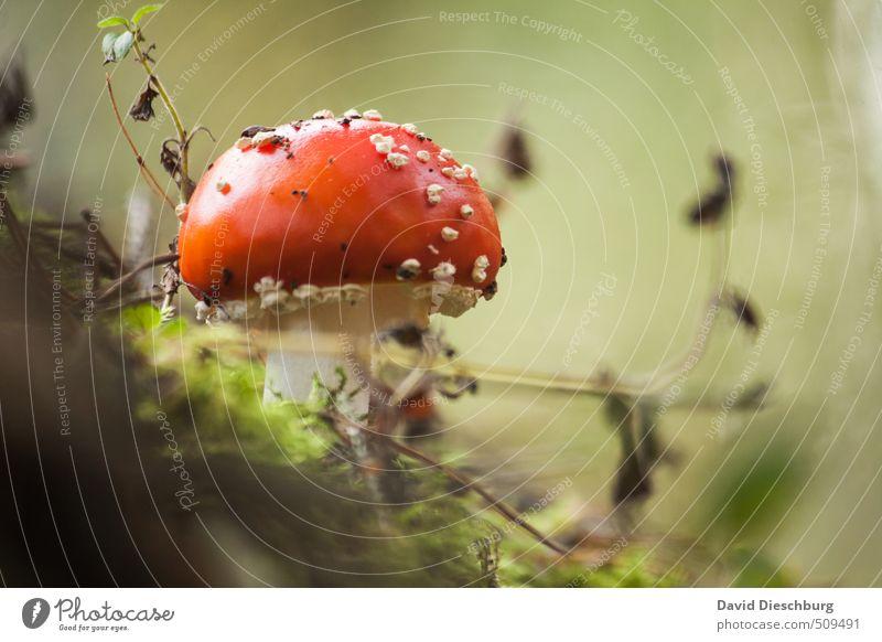 Finger weg...! Natur Pflanze Tier Frühling Herbst Moos Wiese Wald grün orange rot schwarz weiß Fliegenpilz Pilz Gift ungenießbar Wachstum Waldboden herbstlich