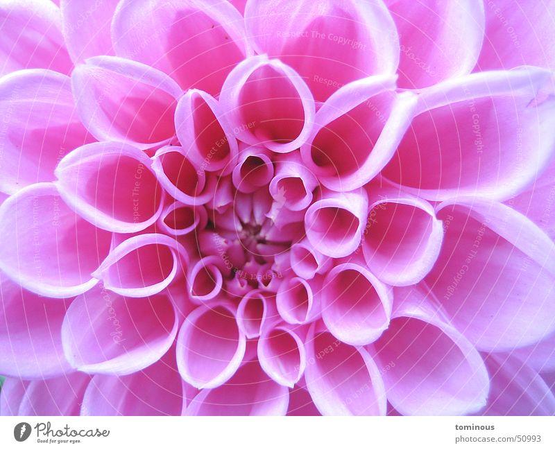fragile beauty schön Blume Pflanze Blüte rosa zart Blütenblatt