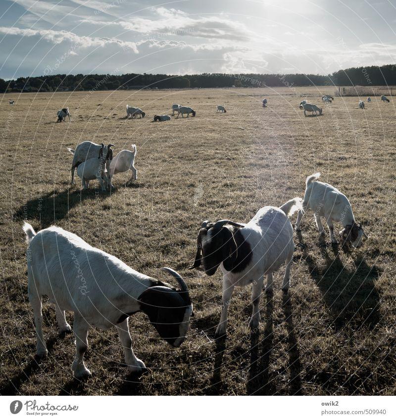 Streichelzoo Umwelt Natur Landschaft Pflanze Tier Himmel Wolken Horizont Klima Wetter Schönes Wetter Gras Wiese Ziegen Geißbock Tiergruppe Herde Tierfamilie