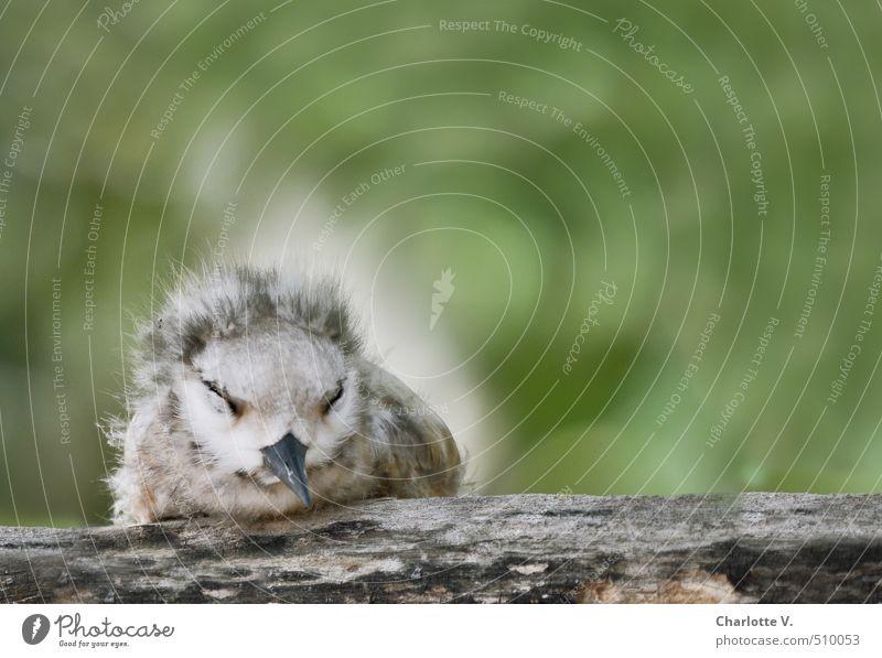 Müde Natur Tier Wildtier Vogel Küken 1 Tierjunges Flaum Holz Erholung hocken schlafen sitzen kuschlig klein rund weich grau grün weiß Gefühle Zufriedenheit
