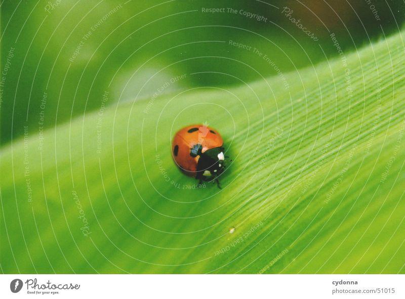 Marienkäfer Blatt grün rot Tier klein schön Frühling aufwachen Insekt Makroaufnahme Nahaufnahme Natur Detailaufnahme Käfer Schutz entdecken