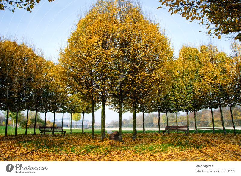 Bunter Baumkreisel Pflanze Herbst Schönes Wetter Blatt Laubbaum Hainbuche Park Magdeburg Deutschland Sachsen-Anhalt Europa rund Stadt mehrfarbig gelb gold