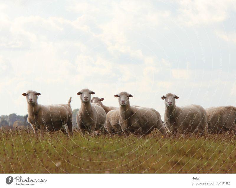 WAS willst du....??? Umwelt Natur Landschaft Pflanze Tier Himmel Wolken Herbst Schönes Wetter Gras Wiese Nutztier Schaf Schafherde Herde beobachten Blick stehen