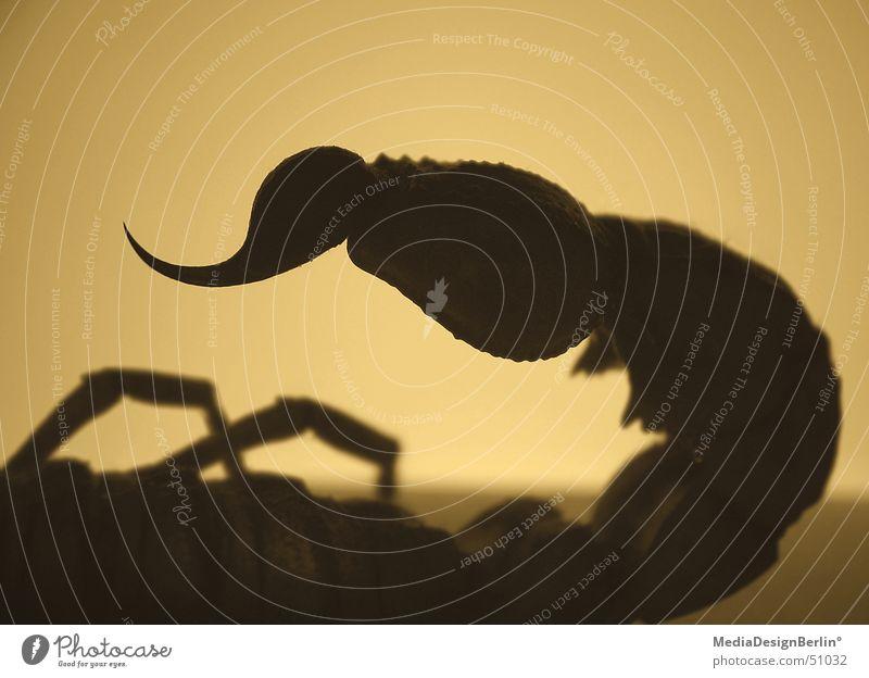 scorpio° Angst gefährlich Wüste Spitze Schmerz Panik Gift Stachel Sahara Skorpion