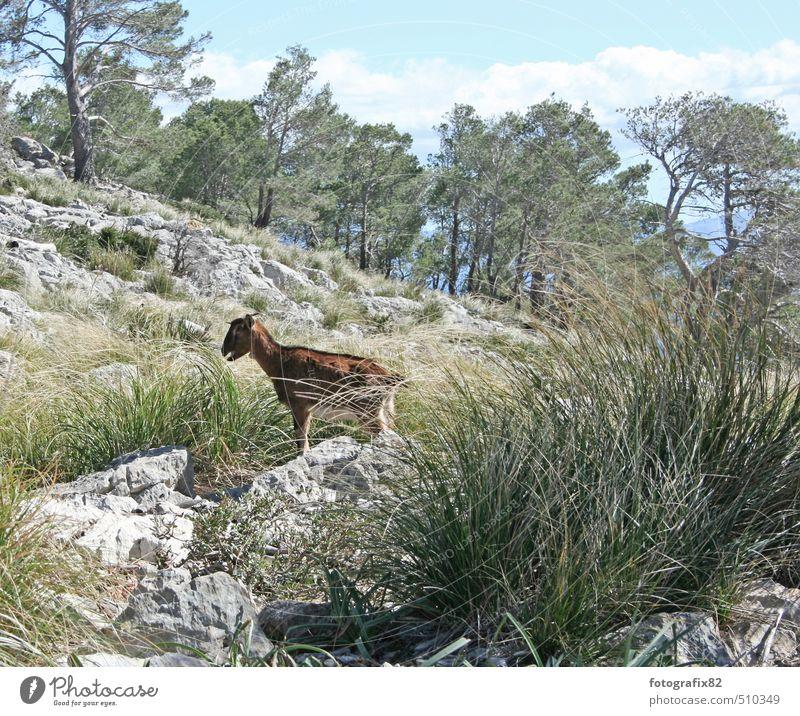 dumme ziege? Natur grün Pflanze Landschaft Wolken Tier Berge u. Gebirge grau braun Feld stehen Spanien Jagd Mallorca Ziegen Wegrand