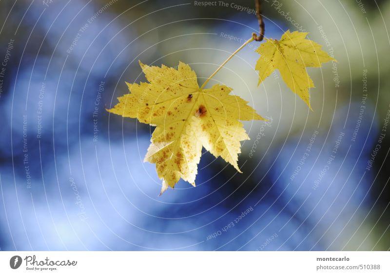 Zeitumstellung | Farbenwechsel Umwelt Natur Pflanze Himmel Sonne Herbst Schönes Wetter Blatt Grünpflanze Wildpflanze alt dünn authentisch frisch natürlich