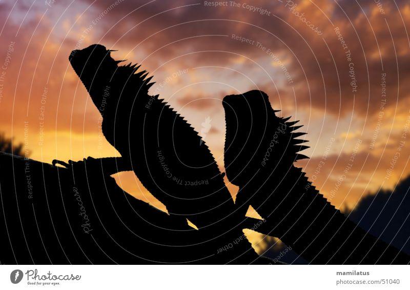 romantischer Sonnenuntergang Himmel Wolken Tierpaar paarweise Romantik Drache Reptil Echsen Vietnam Agamen Urzeit