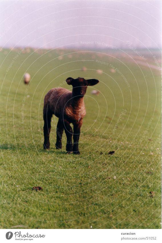 Schwarzes Schaf Wiese grün schwarz Tier niedlich klein Deich Hügel Meer Wellen Küste Außenaufnahme Natur Lamm hügelig Nordsee
