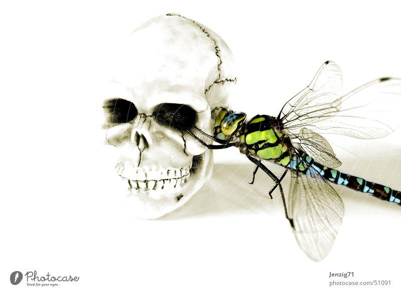 Totgequatscht. Tod Insekt Schädel Libelle Paddel