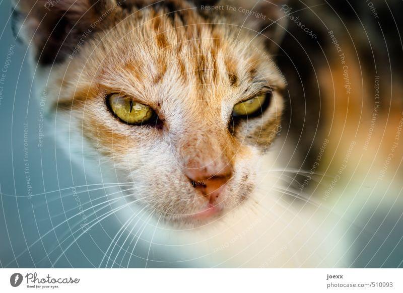 Der Boss Katze blau weiß Tier schwarz gelb Auge Kopf braun bedrohlich Fell Tiergesicht Haustier Aggression hässlich Tierliebe