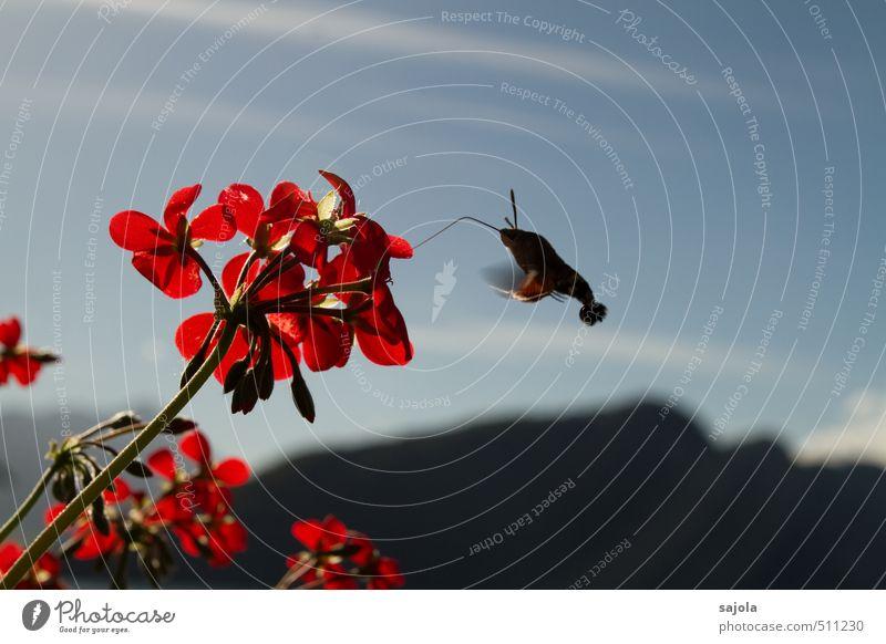 tanz | um die blume Natur Pflanze Tier Himmel Sonnenlicht Herbst Blume Blüte Topfpflanze Pelargonie Berge u. Gebirge Insekt taubenschwänzchen Schmetterling 1