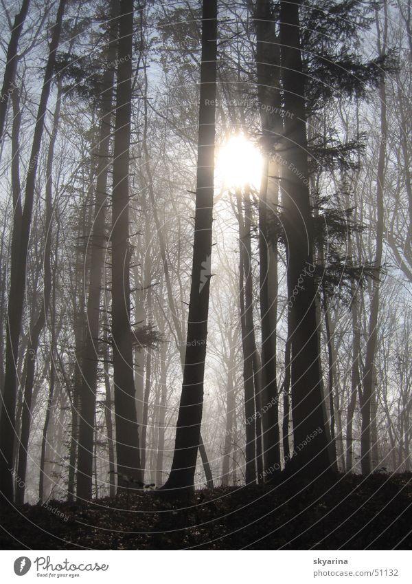 light comes trough Wald Nebelgrenze Tanne Licht strahlend Sonne