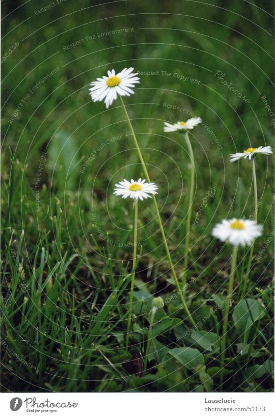 gänseblümchen I Frühling Sommer Blume grün Wiese Sonne daisy Detailaufnahme blumig Rasen Jena