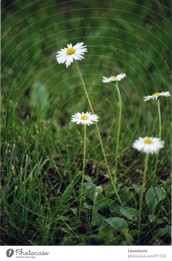 gänseblümchen I Sonne Blume grün Sommer Wiese Frühling Rasen Jena