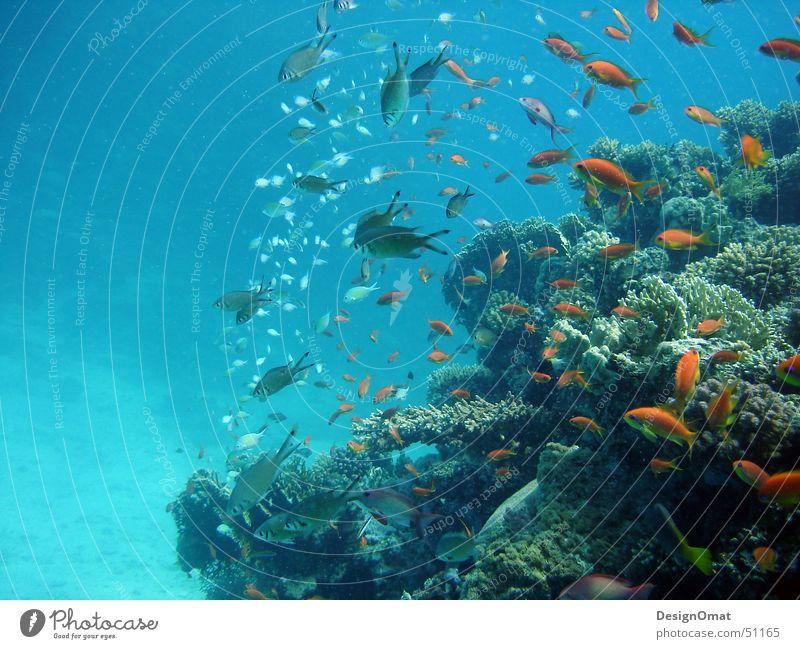 Natur_Design Wasser Meer Ferien & Urlaub & Reisen Tier Fisch Korallen Schwarm prächtig Rotes Meer