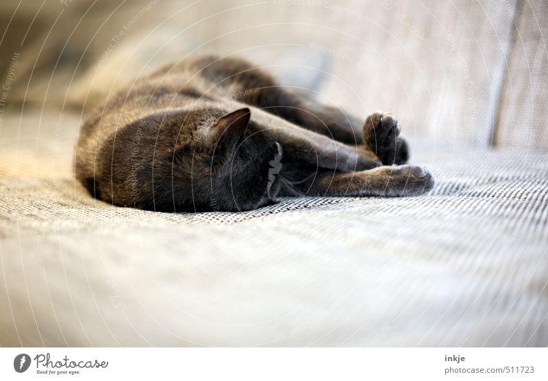Samstag Lifestyle Häusliches Leben Sofa Wohnzimmer Tier Haustier Katze Hauskatze 1 genießen liegen schlafen kuschlig weich braun Gefühle Stimmung Zufriedenheit