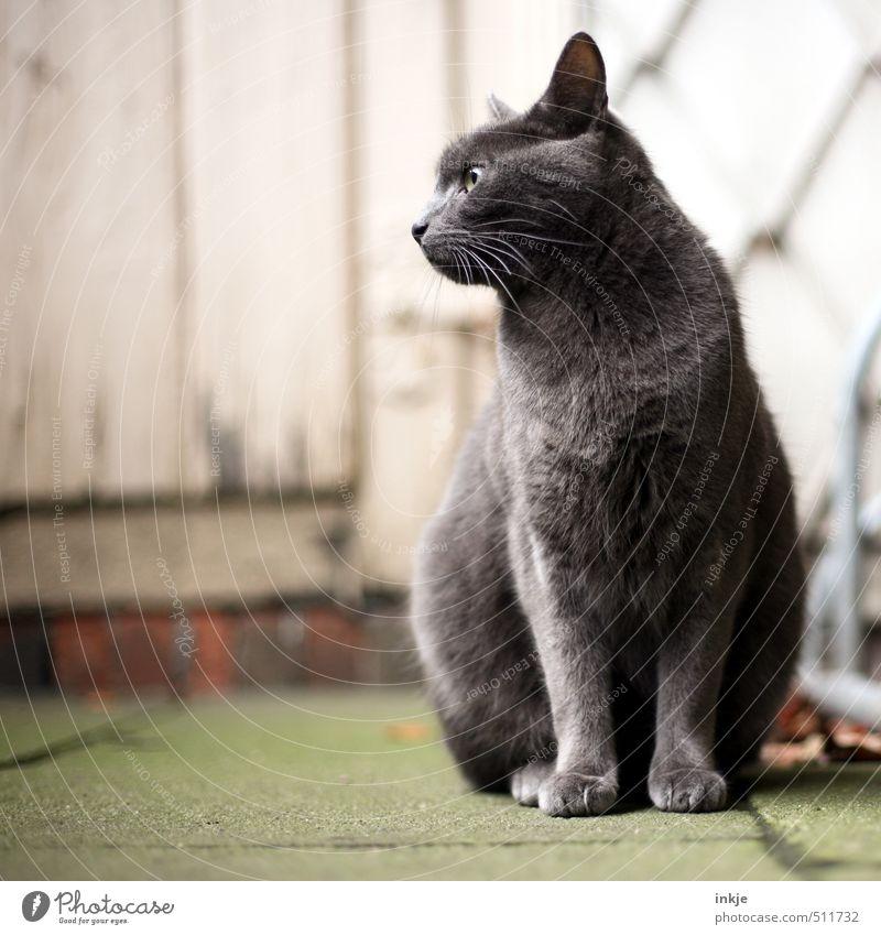 Freigänger Häusliches Leben Garten Fassade Tür Betonplatte Holztür Tier Haustier Katze Hauskatze britisch Kurzhaar 1 hocken Blick sitzen warten schön grau