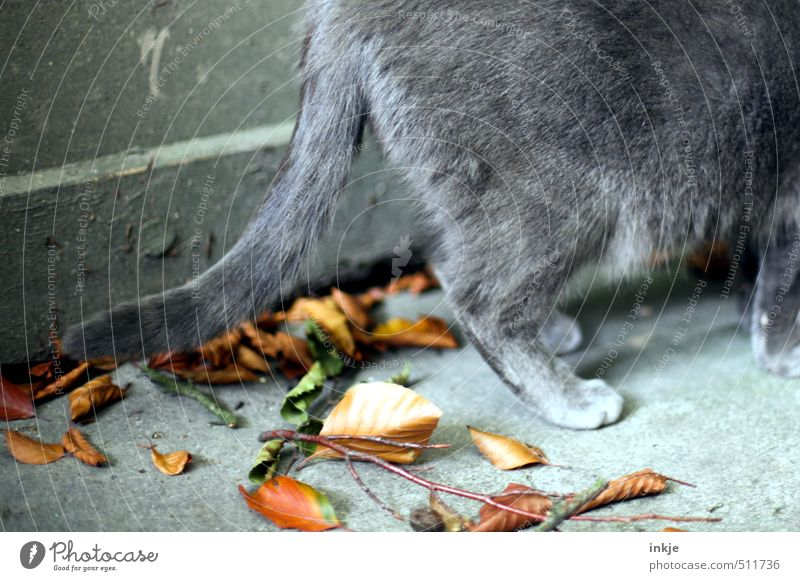 Herbst Umwelt Natur Blatt Ast Garten Menschenleer Mauer Wand Terrasse Tier Katze Fell Pfote Hauskatze Schwanz 1 dehydrieren braun grau Wandel & Veränderung