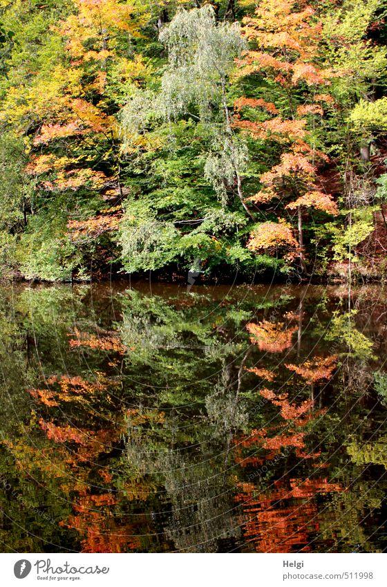 Spiegelungen | Herbst... Umwelt Natur Landschaft Pflanze Wasser Schönes Wetter Baum Sträucher Blatt Wildpflanze Herbstfärbung Seeufer stehen dehydrieren