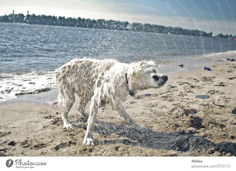 100* Tropfen einer wilden Bestie Hund Natur Freude Strand lustig Schwimmen & Baden außergewöhnlich blond wild frei Schönes Wetter nass Ausflug bedrohlich Fitness Lebensfreude
