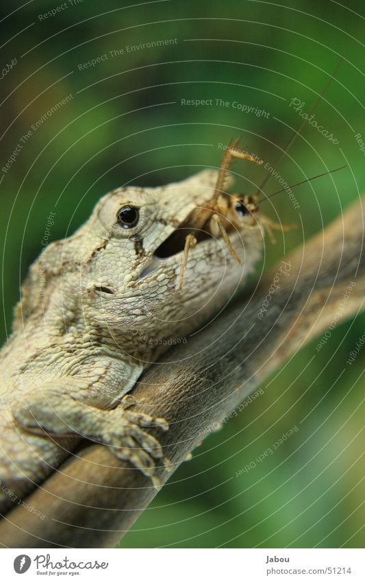 bugs and bites Reptil Insekt Heuschrecke Fressen Mahlzeit Appetit & Hunger Verdauungsystem Herz-/Kreislauf-System Futter Terrarium anoli kamälion appetit