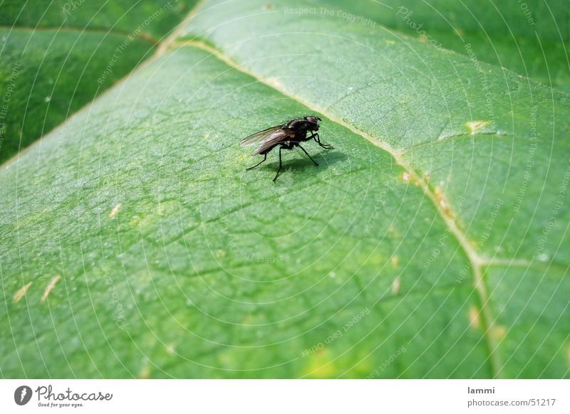 Die Fliege Natur grün ruhig Blatt schwarz Tier Farbe warten Fliege Monochrom