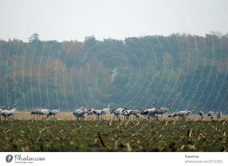 Versammlung Natur grün Pflanze Landschaft Tier Wald Umwelt Herbst grau natürlich Vogel Feld Wildtier Schwarm Kranich