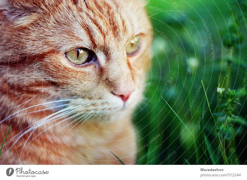 Mietzetatze Katze Natur Pflanze Sommer rot Tier Wiese Gras Frühling Denken Garten sitzen frei stehen Sträucher Schönes Wetter