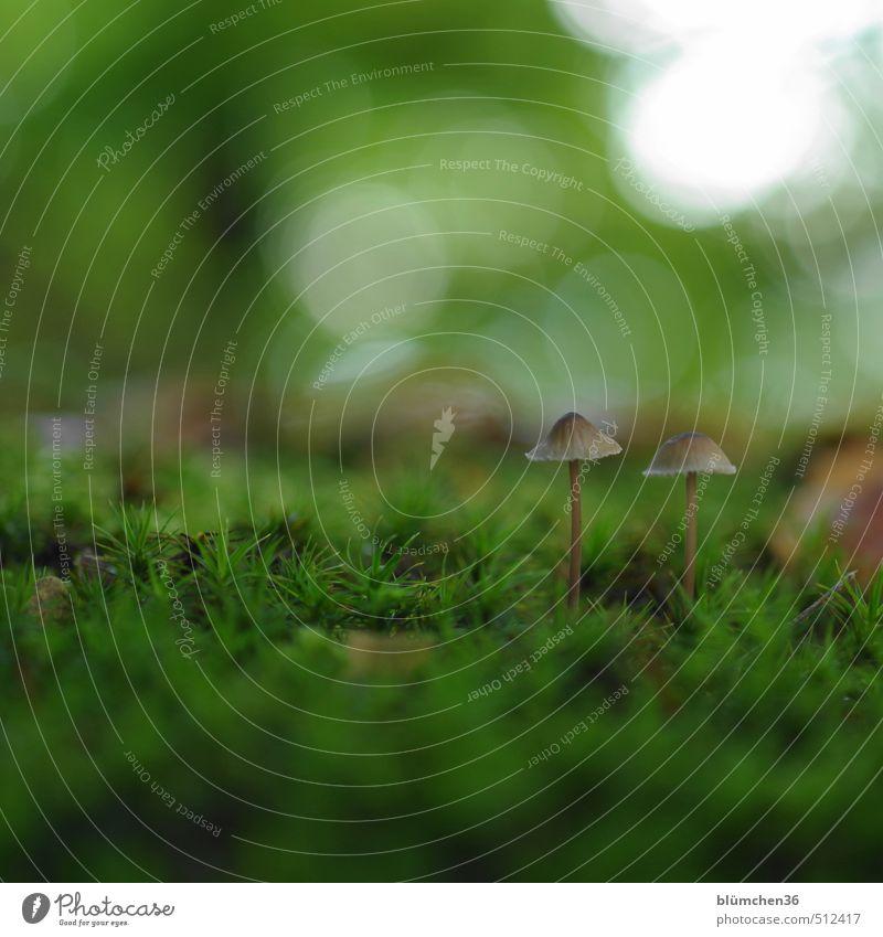 Zu zweit ... Natur Pflanze Herbst Pilz Pilzhut Moos Moosteppich Wald stehen Wachstum klein lecker natürlich schleimig braun grün Lebensmittel Gemüse Ernährung