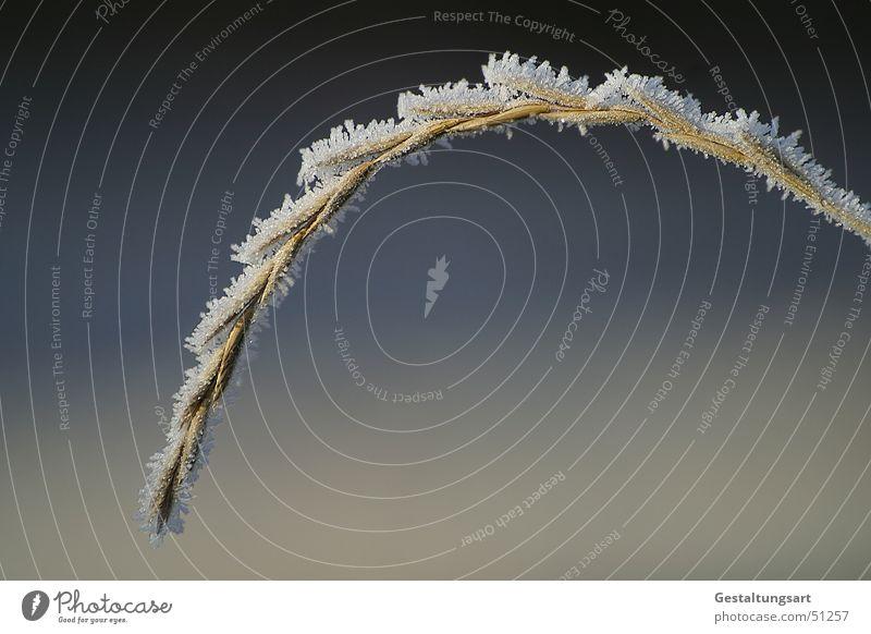 nächste Generation Gras Halm Winter Raureif Reifezeit ruhig kalt gefroren schlafen grau weiß beige Makroaufnahme Nahaufnahme Samen Frost Eis Wachstum blau