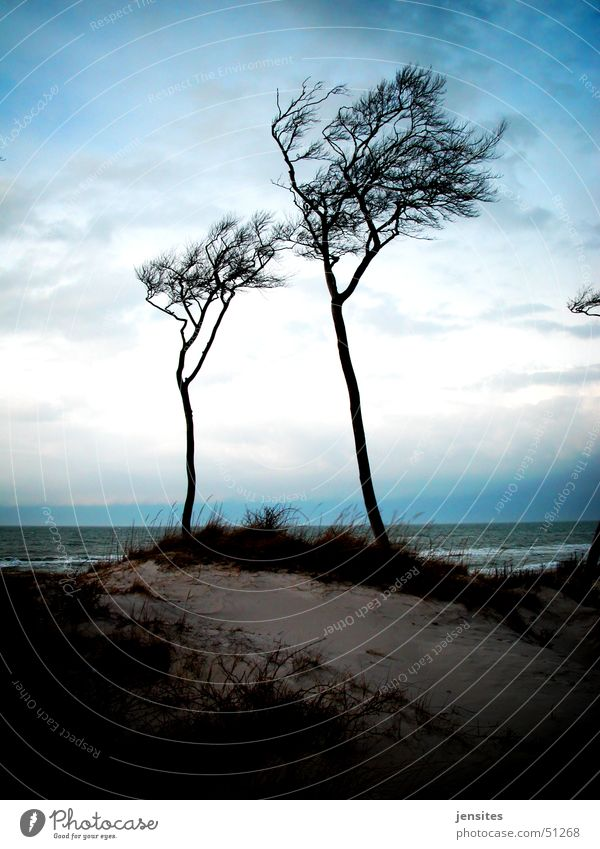 Ostseepalmen II Baum Windflüchter Meer Strand ruhig Winter grau Deutschland Ast Dynamik Natur Bewegung Himmel blau