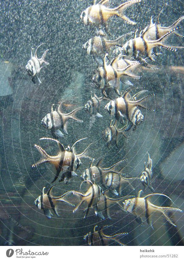 Stachelige Fische Aquarium Luftblase gestreift Zacken Schwarm