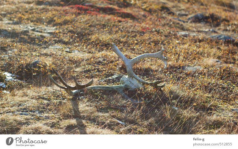 Ren Jagd Ferien & Urlaub & Reisen wandern Natur Landschaft Tier Erde Sonnenaufgang Sonnenuntergang Herbst Schönes Wetter Gras Moos Hügel Wildtier Totes Tier