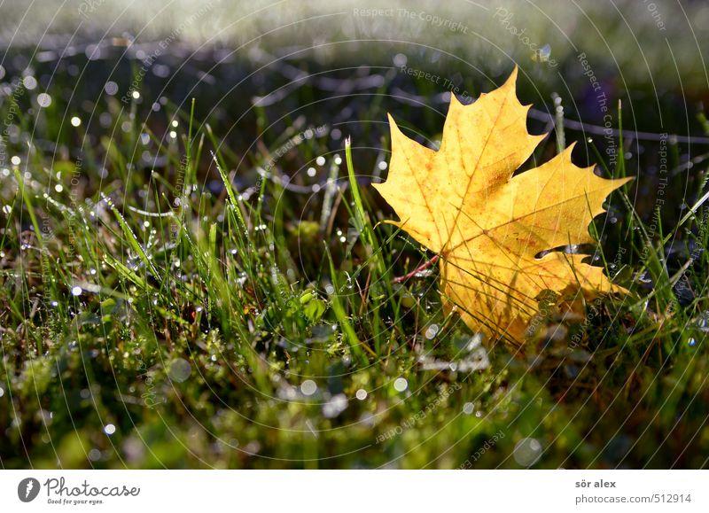 schönes Wetter Natur Pflanze Herbst Klima Klimawandel Schönes Wetter Blatt Rasen Gras Ahornblatt frisch nass gelb grün Wandel & Veränderung Jahreszeiten Tau