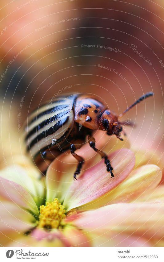 eigentlich suche ich ne Kartoffel Natur Pflanze Tier Blume 1 gelb grün Käfer Kartoffelkäfer Insekt Fühler gestreift klein Farbfoto Außenaufnahme Nahaufnahme