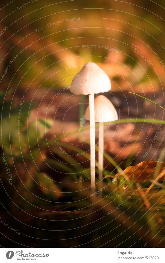 Bohnenstangen Natur Pflanze Herbst Gras Moos Pilz Pilzhut Wald leuchten stehen Wachstum dünn schön klein natürlich braun grün weiß Stimmung ruhig waldpilze